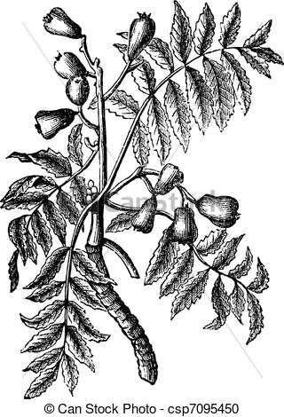 Vector Clipart of Sorbus domestica or Service Tree vintage.