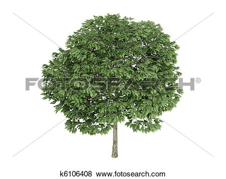 Stock Illustration of Rowan or Sorbus k6106408.