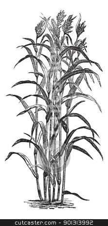 Jowar plant clipart.