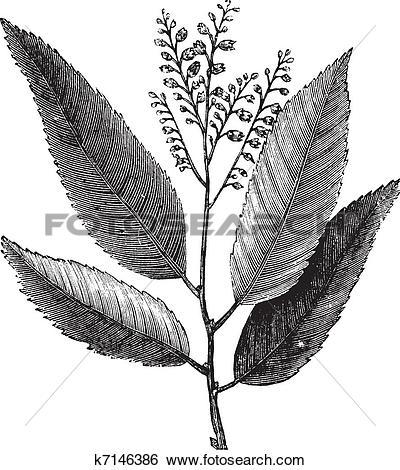 Clip Art of Sourwood or Sorrel Tree or Oxydendrum arboreum.