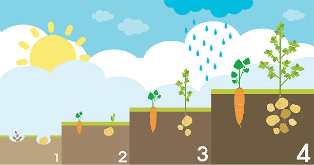 Potato Sorting Plant Clip Art, Vector Images & Illustrations.