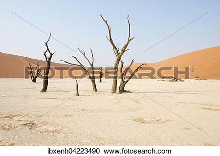 Stock Photography of Dead camel thorn trees (Acacia erioloba) in.