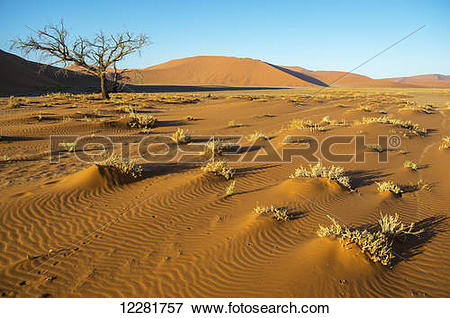 Picture of Brush growing in the desert; Sossusvlei, Namibia.