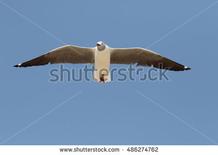 Grey Headed Gull Stock Photos, Royalty.