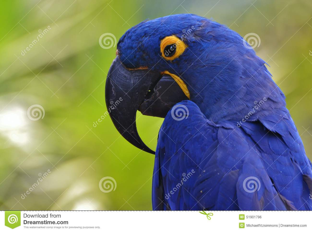 Blue Hyacinth Macaw Stock Photo.