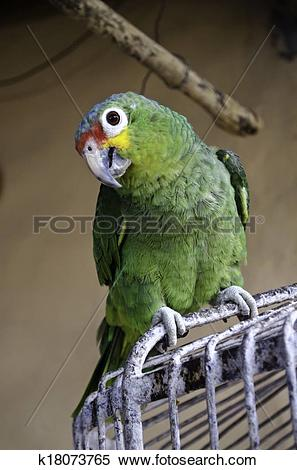 Stock Image of South American parrot k18073765.