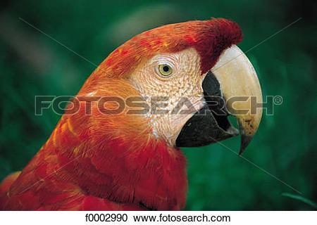 Stock Photography of Peru, animal, animals, tropical bird, South.