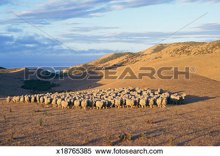Stock Image of New Zealand, South Island, Seddon, sheep dog.