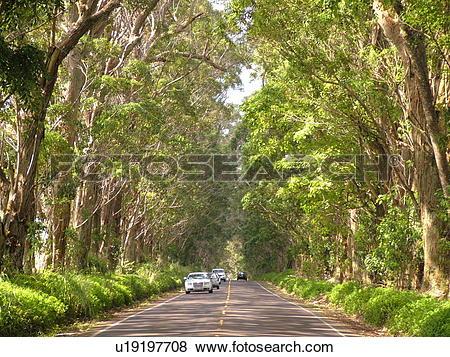 Pictures of Koloa, Kauai, HI, Hawaii, South Shore, Swamp Mahogany.
