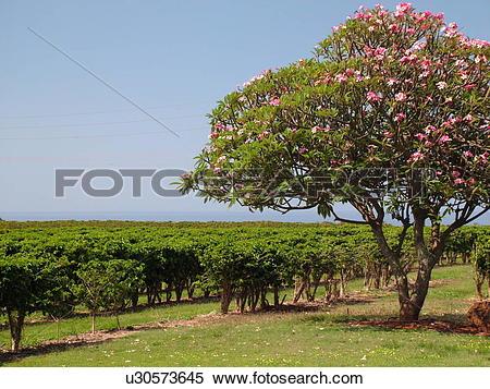 Stock Image of Numila, Kauai, HI, Hawaii, South Shore, Kauai.