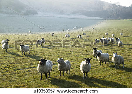Picture of Sheep grazing in frost on South Downs in Sussex.