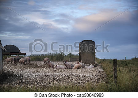 Pictures of Pig farming on South Downs in Sussex landscape.