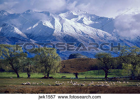 Picture of Sheep grazing below the snow.