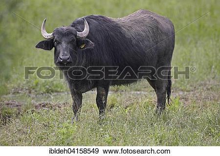 Stock Photograph of Water buffalo (Bubalus arnee)m female.