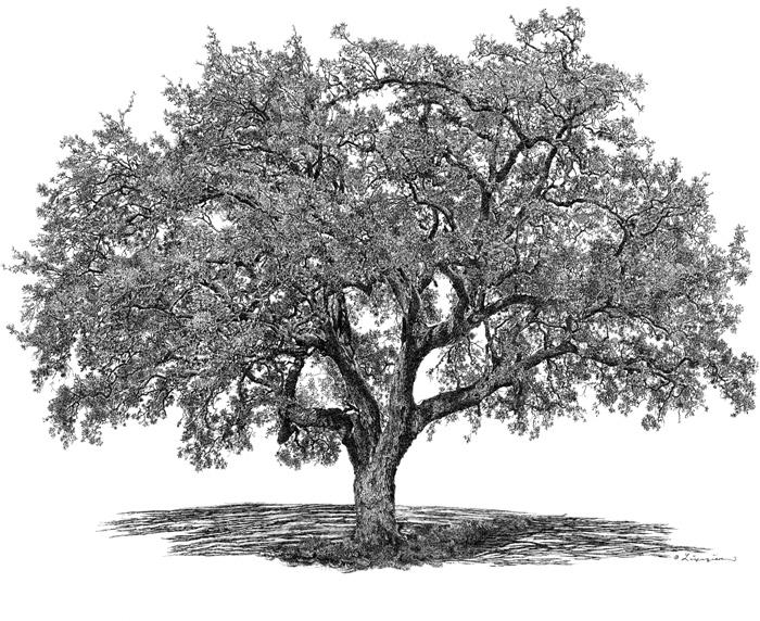 Oak tree drawing.