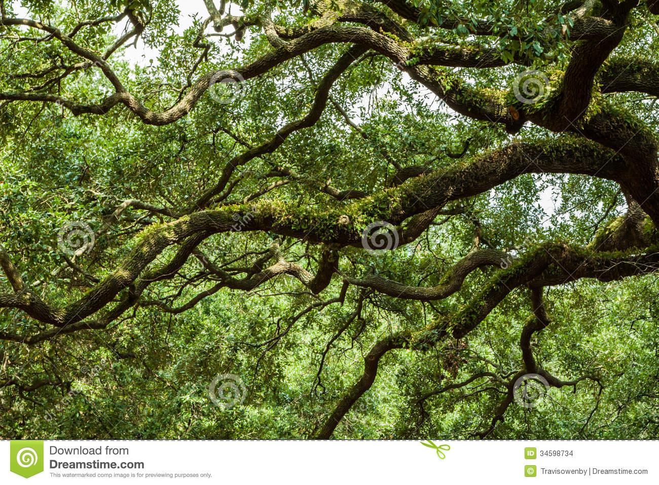 Savannah Georgia Southern Live Oak Tree Stock Photography.