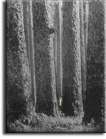History of Heart Pine.