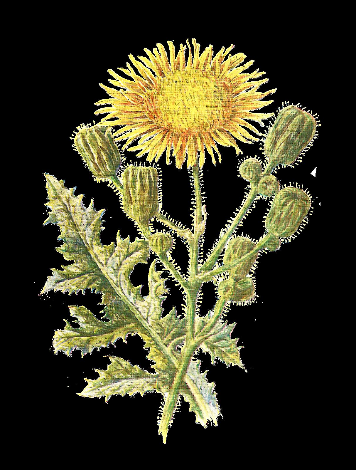 Antique Images: Vintage Scrapbooking Wildflower Download Printable.