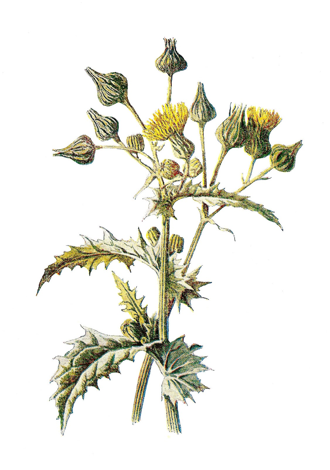 Antique Images: Digital Wildflower Image Sow Thistle Vintage.