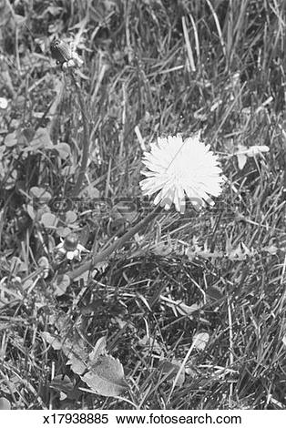 Stock Image of Sow thistle on meadow, (B&W), close.