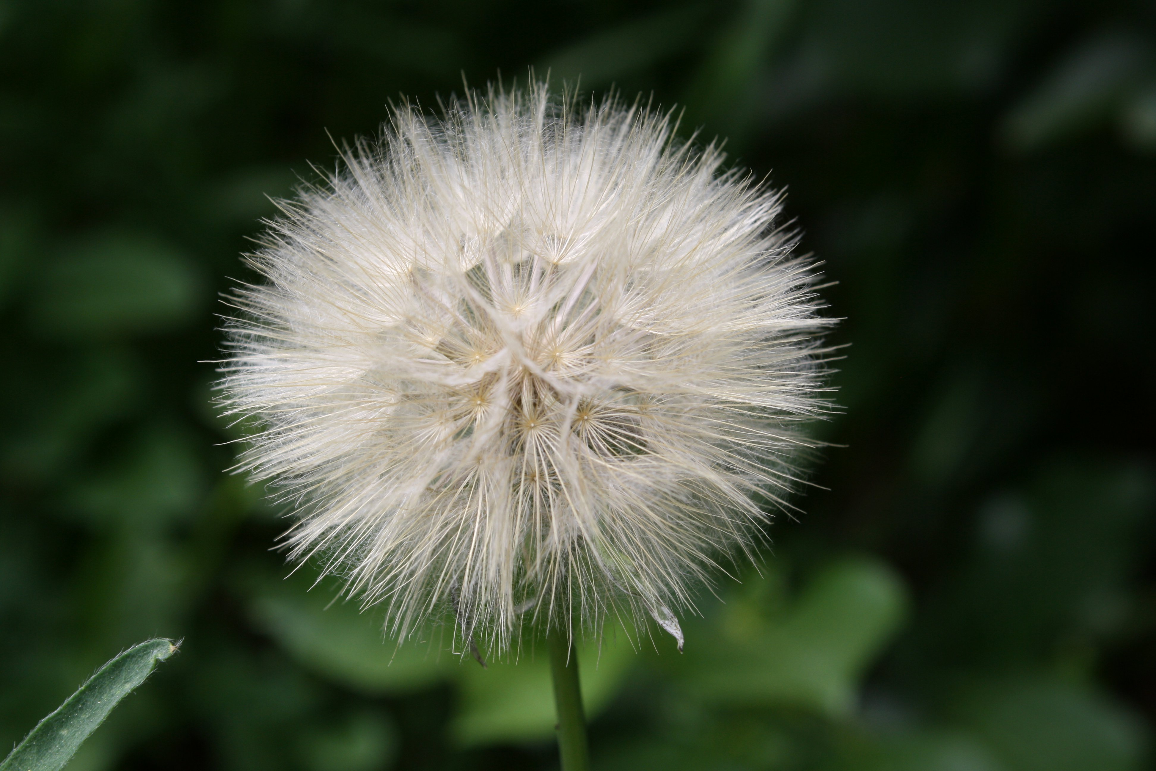 Sowthistle Seed Puff Picture.