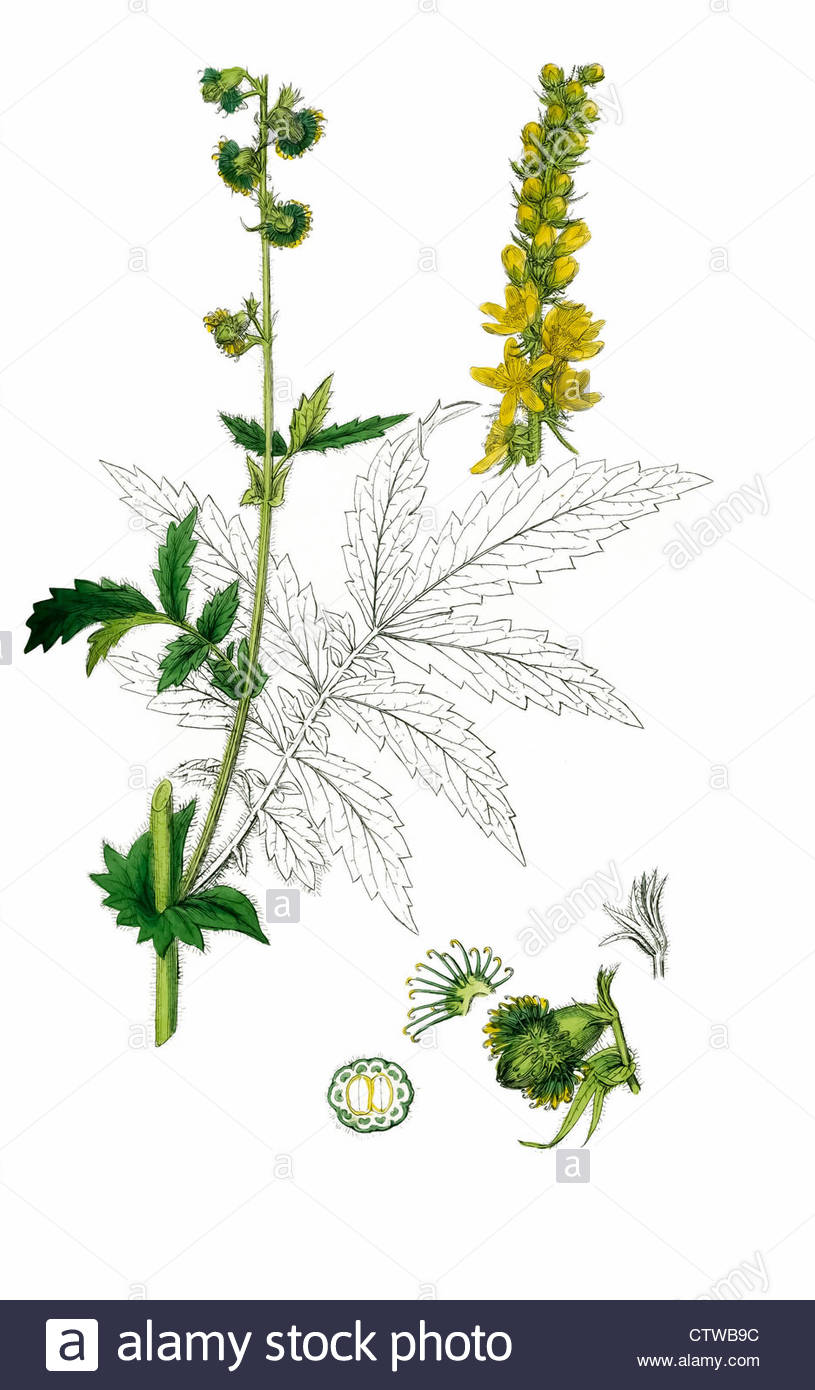 Illustration Of Fragrant Agrimony By Sowerby Stock Photo, Royalty.