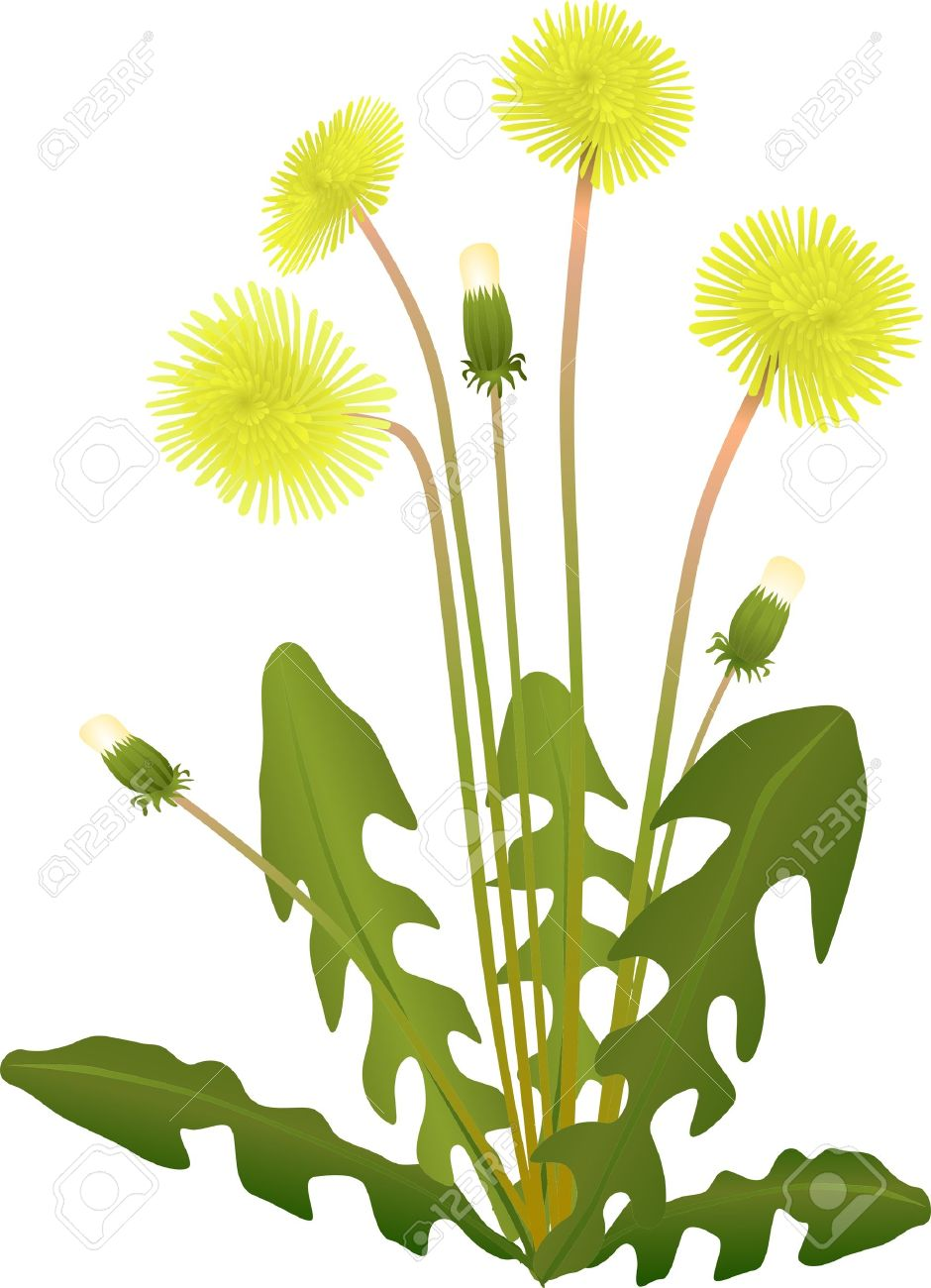 Of Flower Yellow Dandelion Isolated On Background Royalty Free.