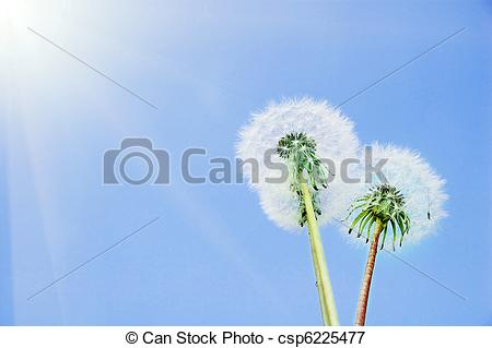 Picture of sowthistle on the sky background csp6225477.