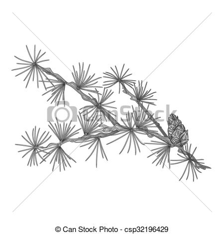 Vector Illustration of Larch tamarack branch as vintage engraving.