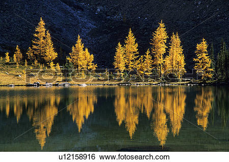 Stock Images of Larch in fall colours, Lake O'Hara, Opabin Plateau.
