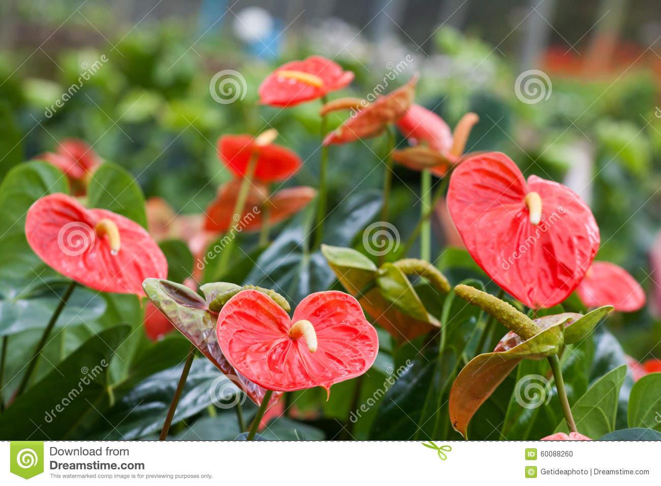 Spadix (botany) Stock Photo.