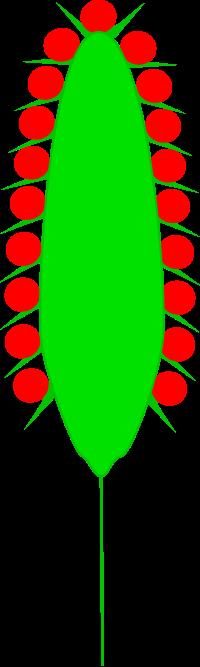 Spadix (botany).