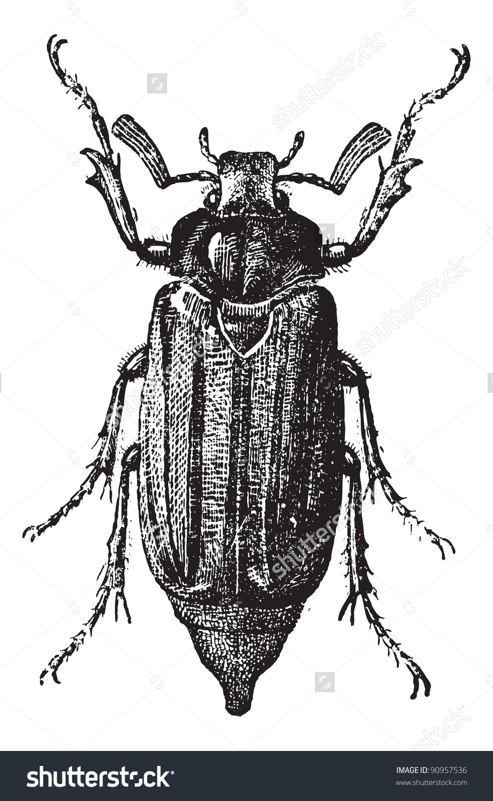 Fig 10 Cockchafer May Bug Mitchamador Stock Vector 90957536.