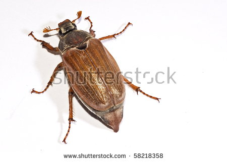 Cockchafer, Also Called May Bug, Billy Witch, Or Spang Beetle.