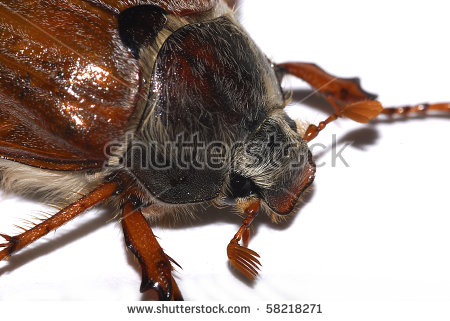 Spang Beetle Stock Photos, Royalty.