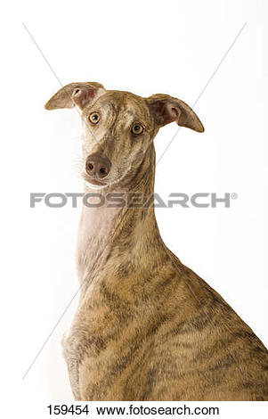 Stock Photo of l Spanish greyhound dog.
