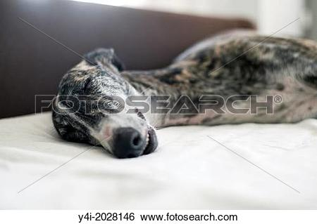 Stock Images of Rescued spanish greyhound happy in his new home.