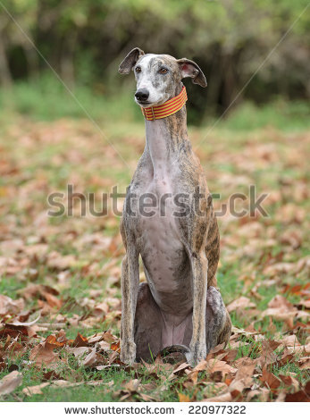 Spanish Greyhound Stock Photos, Royalty.