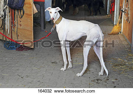 Stock Photo of Spanish Galgo dog.