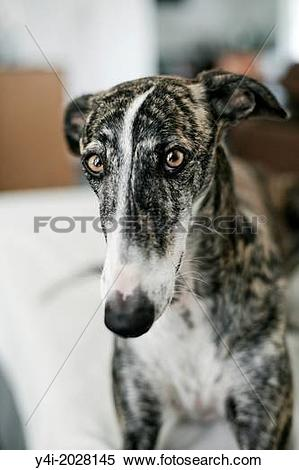 Stock Image of Rescued spanish greyhound happy in his new forever.