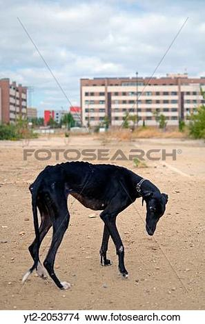 Stock Photo of Rescued black Spanish Greyhound starts a new life.