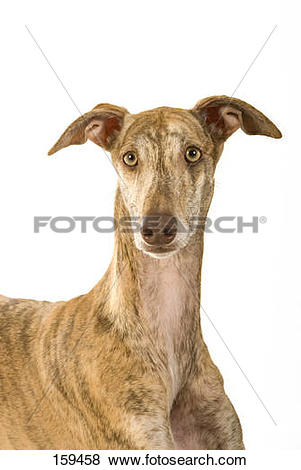 Pictures of l Spanish greyhound dog.