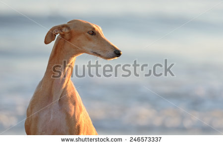 Greyhound Stock Photos, Royalty.