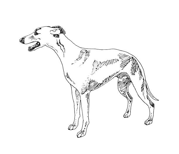 Spanish Greyhound Clip Art, Vector Images & Illustrations.
