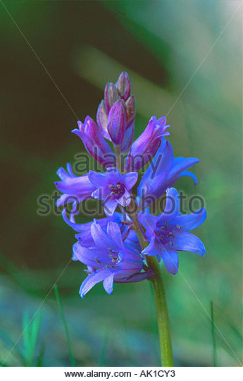 Scilla Hispanica Stock Photos & Scilla Hispanica Stock Images.