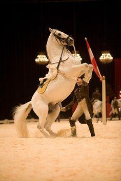 Spanish riding school of Vienna Lipizzaner Stallions.