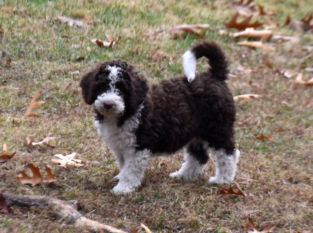Spanish Water Dog Breed Information.