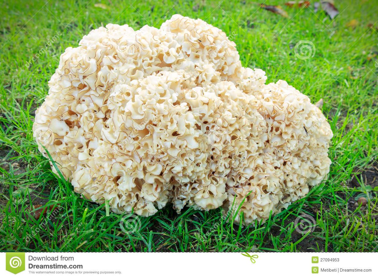 Sparassis Crispa (Cauliflower Mushroom) Stock Photos.