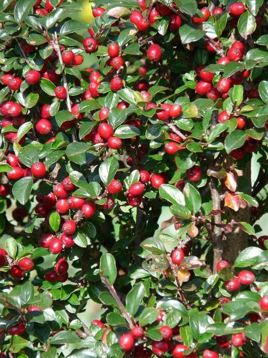 Free photo: Sparrige Zwergmispel, Bush, Berries.