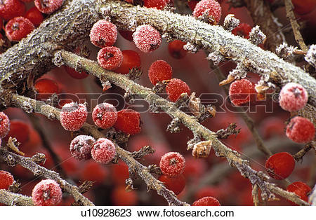 Cotoneaster Stock Photos and Images. 416 cotoneaster pictures and.